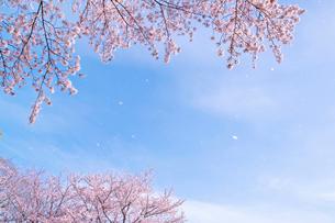 風に舞う桜の写真素材 [FYI02641849]
