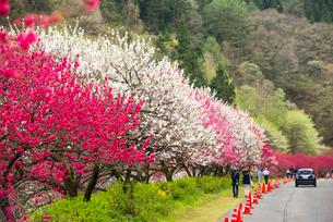 花桃の並木の写真素材 [FYI02641872]