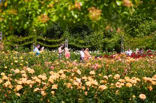 クィーンメアリーローズガーデンのバラの写真素材 [FYI02641875]