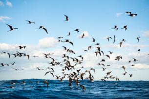 メキシコ カンクン沖のグンカンドリの群れの写真素材 [FYI02641965]
