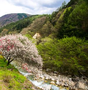 花桃と若葉の本谷川の写真素材 [FYI02641978]