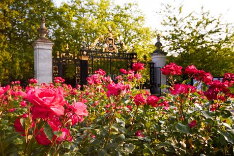 クィーンメアリーローズガーデンのバラの写真素材 [FYI02642243]