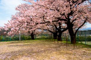 清哲町 校庭の桜と鉄棒の写真素材 [FYI02642248]