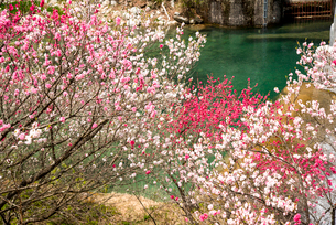 花桃とコバルトグリーンの川の写真素材 [FYI02642424]