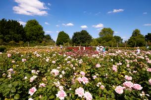 クィーンメアリーローズガーデンのバラの写真素材 [FYI02642534]