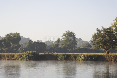 川と水牛を連れた農夫の写真素材 [FYI02642559]
