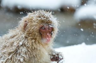 寒さに耐える子ザルの写真素材 [FYI02642567]