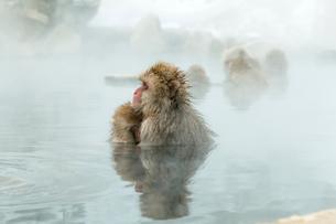 親子で温泉に入るニホンザル。授乳中。の写真素材 [FYI02642582]