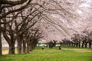 水沢競馬場の桜並木の写真素材 [FYI02642662]