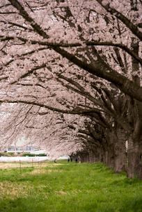 水沢競馬場の桜並木の写真素材 [FYI02642704]