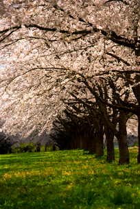 水沢競馬場の桜並木の写真素材 [FYI02642757]