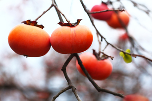 果物,食べ頃の柿の写真素材 [FYI02642773]