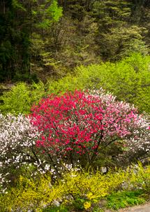 花桃と新緑の写真素材 [FYI02642891]