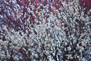 白梅 八重冬至の写真素材 [FYI02642956]