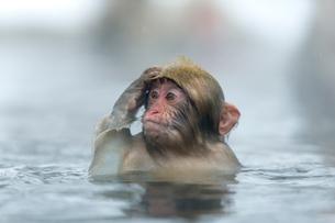 温泉で頭をかく子ザルの写真素材 [FYI02642985]