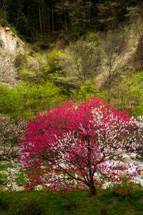本谷川沿いの花桃と新緑の写真素材 [FYI02643029]