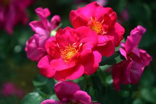 紅赤色のバラの写真素材 [FYI02643070]
