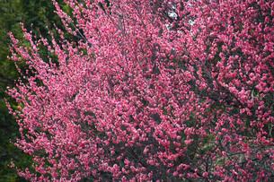 紅梅 八重寒紅梅の写真素材 [FYI02643072]