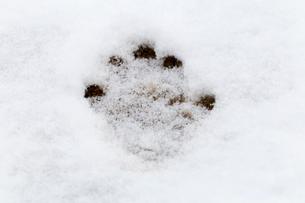 ニホンザルの前足の足跡の写真素材 [FYI02643179]