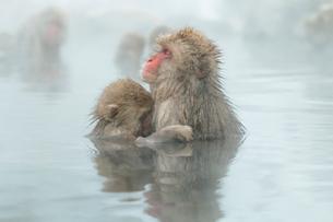 親子で温泉に入るニホンザル。授乳中。の写真素材 [FYI02643266]
