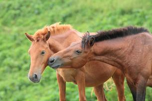 じゃれ合う馬の写真素材 [FYI02643275]