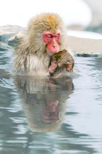 親子で温泉に入るニホンザル。授乳中。の写真素材 [FYI02643293]
