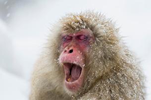 あくびをするオスザルの写真素材 [FYI02643299]