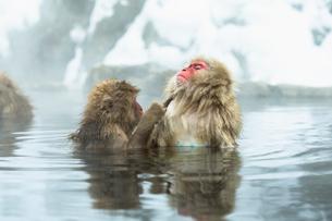 温泉で毛づくろいをするニホンザルの写真素材 [FYI02643325]