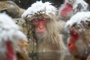 雪降りの中温泉に入り、気持ちよくなって眠るニホンザルの写真素材 [FYI02643346]