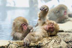 温泉で毛づくろいをする子ザルの写真素材 [FYI02643351]