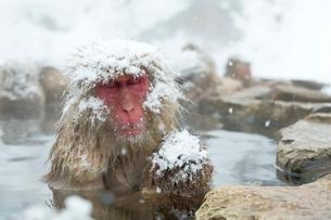 親子で温泉に入るニホンザルの写真素材 [FYI02643425]