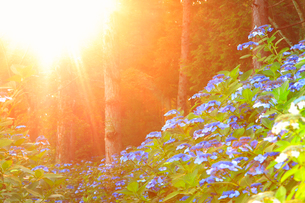 アジサイと朝日の木もれ日の光芒の写真素材 [FYI02643439]