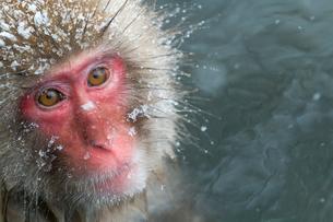温泉猿のポートレートの写真素材 [FYI02643540]