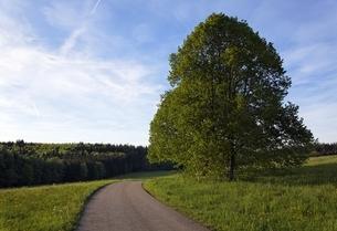 linden tree, tilia, road, near St. Johann, Swabian Alpsの写真素材 [FYI02643564]