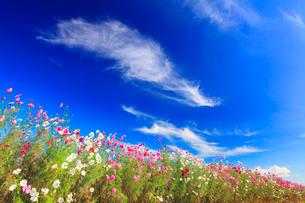 コスモス畑とすじ雲の秋空の写真素材 [FYI02643596]