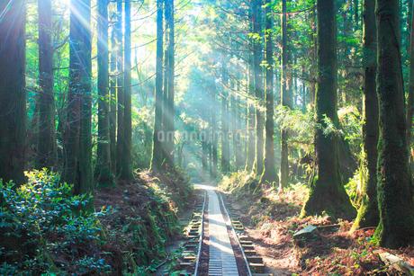 トロッコ道と屋久杉の林と朝霧の光芒の写真素材 [FYI02643606]