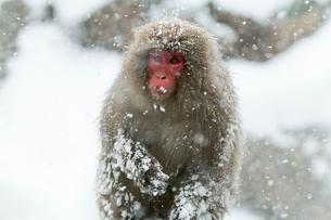 寒さに耐えるニホンザルの写真素材 [FYI02643675]
