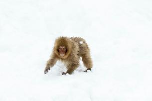雪の上の子ザルの写真素材 [FYI02643694]