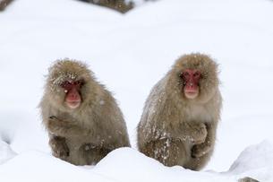寒さに耐えるニホンザルの写真素材 [FYI02643702]