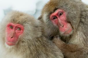 寄り添うニホンザルのオス(右)とメス(左)の写真素材 [FYI02643704]