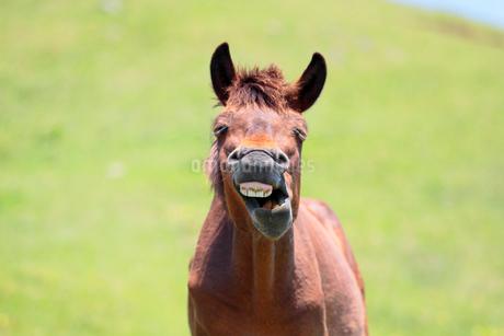 フレーメンをする牡馬の写真素材 [FYI02643750]