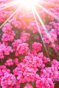 バラと朝日の木もれ日の光芒の写真素材 [FYI02643762]
