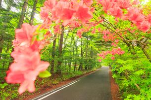 ツツジと新緑の新軽井沢の別荘地の道路の写真素材 [FYI02643776]