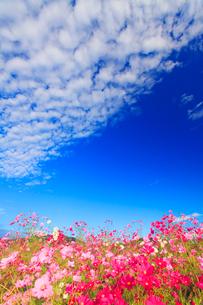 コスモス畑とうろこ雲の写真素材 [FYI02643780]