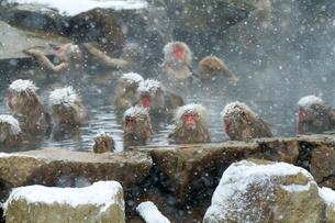 雪降りの中温泉に入るニホンザルの写真素材 [FYI02643800]