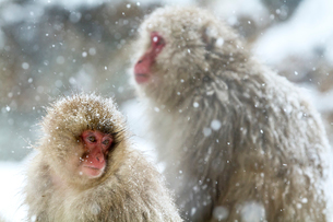 寒さに耐えるニホンザルの写真素材 [FYI02643819]