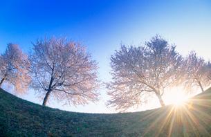 ソメイヨシノの桜並木と朝日の木もれ日の光芒の写真素材 [FYI02643841]