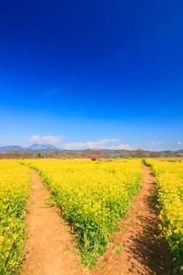 菜の花畑と分かれ道と飯縄山と高妻山と黒姫山の写真素材 [FYI02644035]