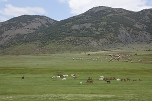 goats, sheep, herd, near Korca, Albaniaの写真素材 [FYI02644095]