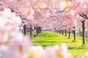 八重桜の桜並木の写真素材 [FYI02644119]